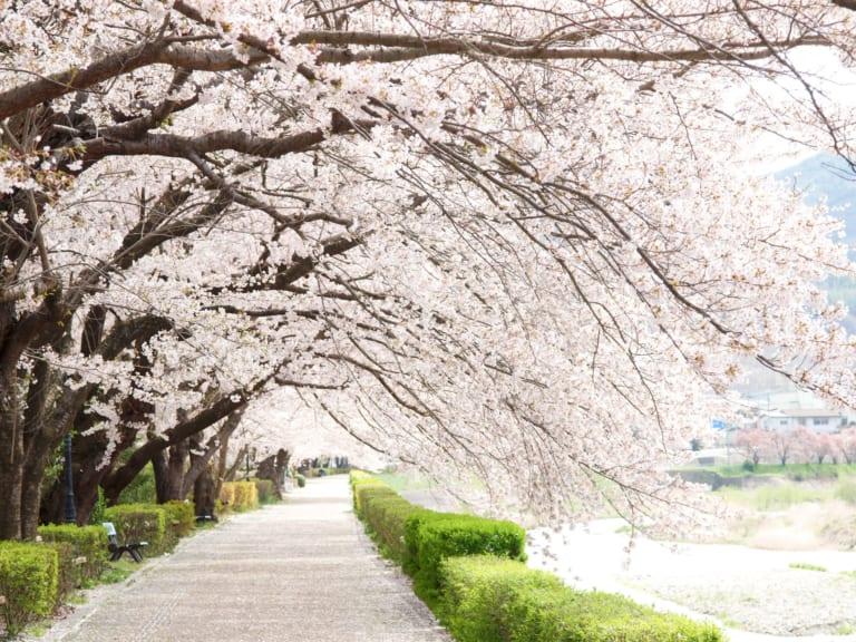 【Chuyên đề hoa anh đào – Bài số 4】 Hai địa điểm ngắm hoa anh đào lớn nhất gần khu vực Asakusa