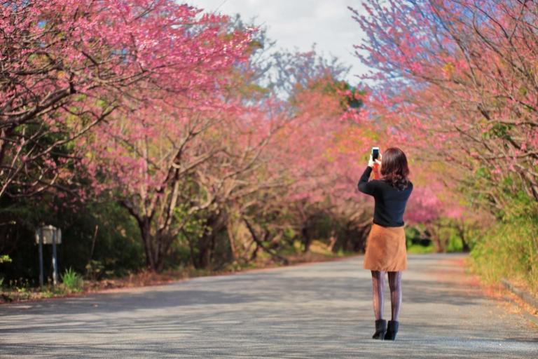 5 điểm ngắm hoa anh đào tại Okinawa