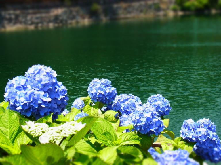 TOP5 địa điểm ngắm hoa cẩm tú cầu ở Kanagawa