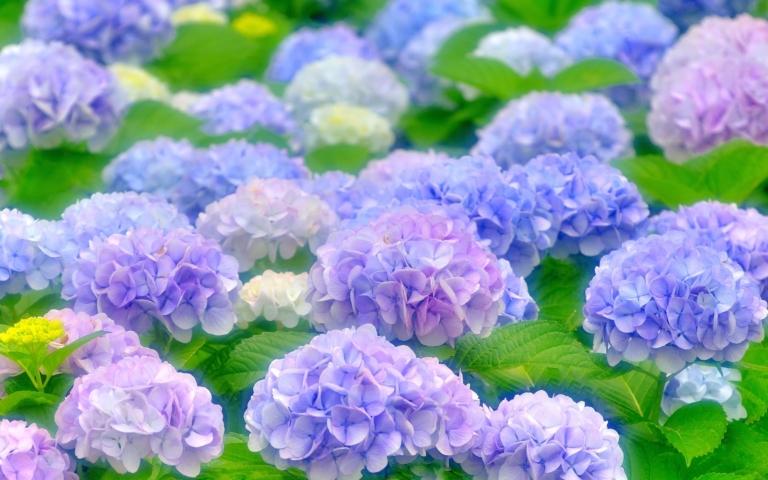 TOP5 địa điểm ngắm hoa cẩm tú cầu ở Tokyo